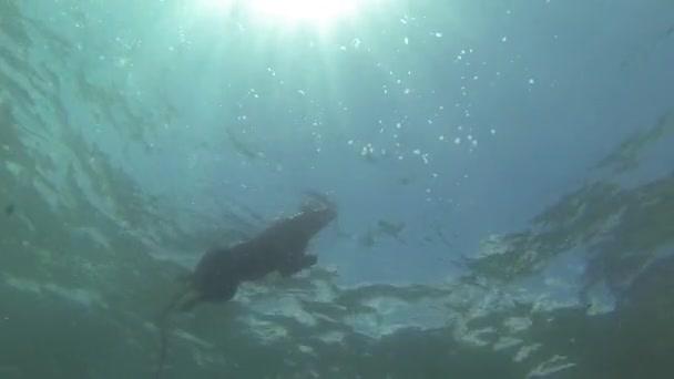pes, plavání