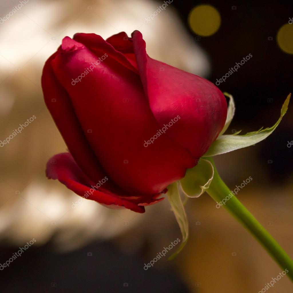 Rosa Roja En La Noche Con Fondo Dorado Fotos De Stock Luckypic