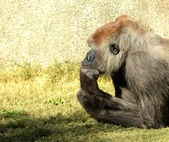 Photo A thinking mans Gorilla