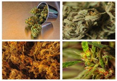 Four grades of marijuania