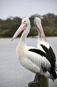 Dvojice australský pelikánů, noosa queensland