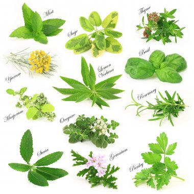 Collection of fresh aromatic herbs stock vector