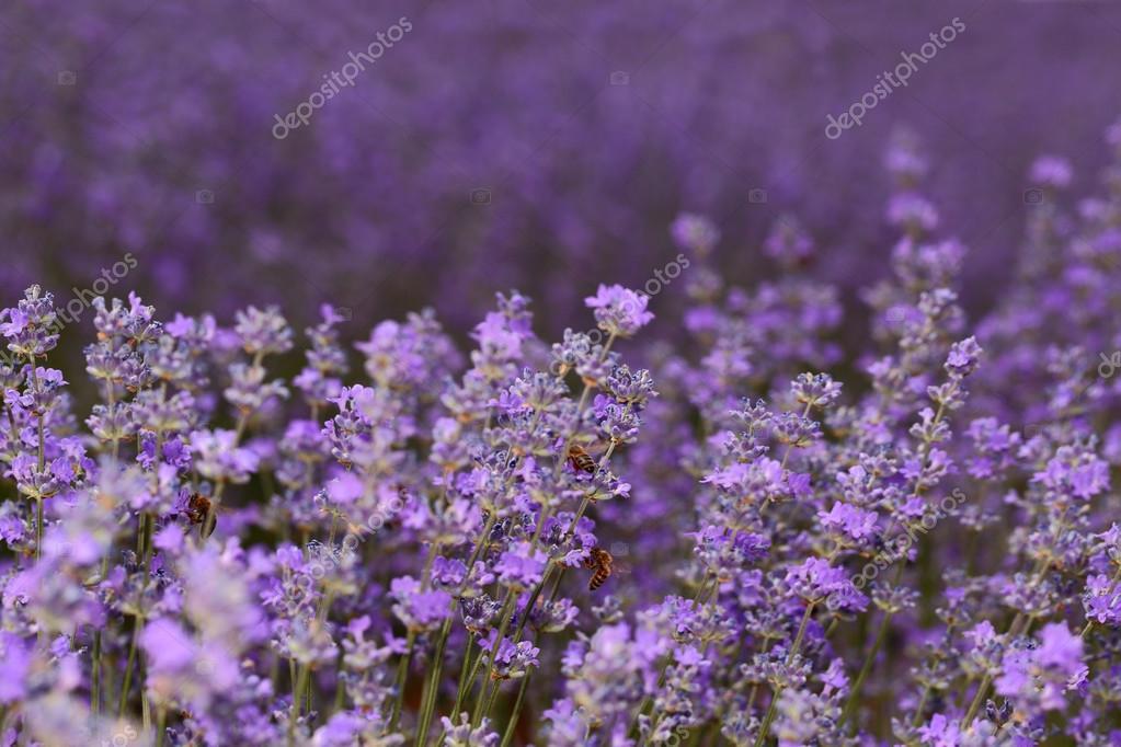 Honey bees on blooming lavender flowers closeup