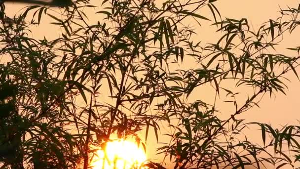 Sunrise and Bamboo 3