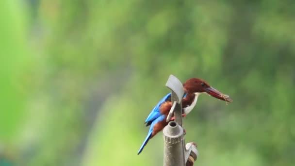 White Throated Kingfisher Feeding