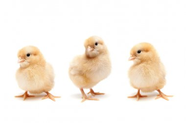 Baby chicks isolated on white