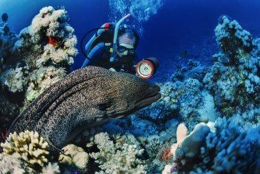 SUDAN, Red Sea, U.W. photo, tropical moray eel and scuba diver