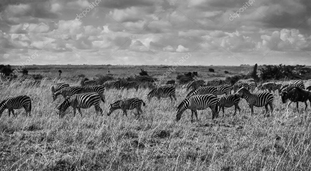 Kenya, Nairobi National Park, zebras group