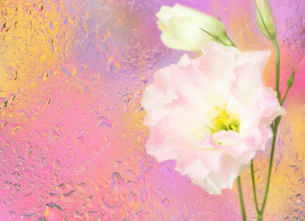 Eustoma flower under wet glass