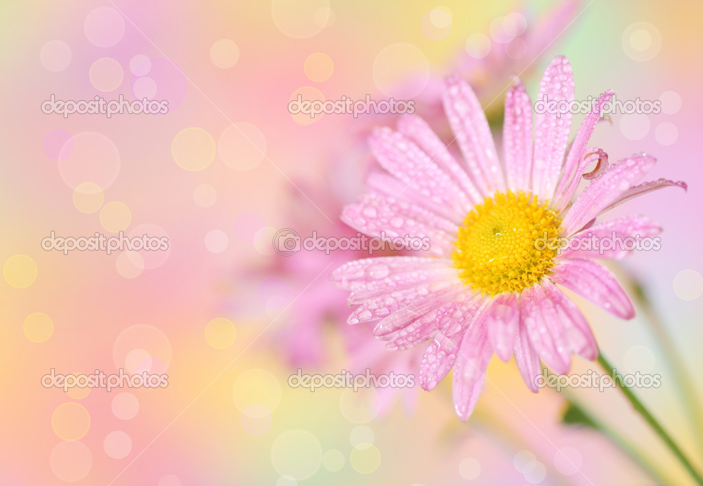 Pink chrysanthemum flowers on defocused colorful background