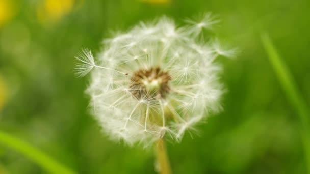 Pampeliška semena vítr