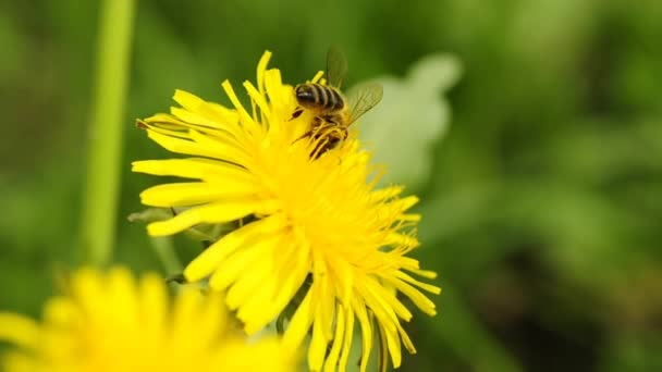 včela na Pampeliška