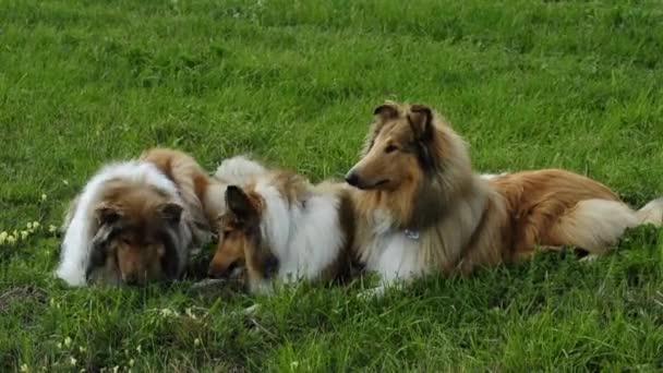 kolie psi