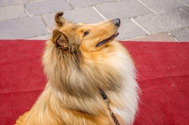 collie dog sitting on red carpet