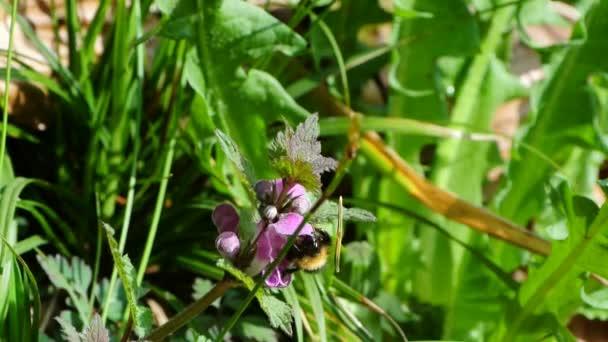 Buff sledoval čmelák sbírat nektar