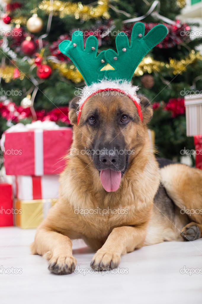 Hund mit Hirsch-Geweih-Hut am Heiligabend, Weihnachtsbaum und g ...
