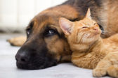 Fotografie German Shepherd Dog and cat together
