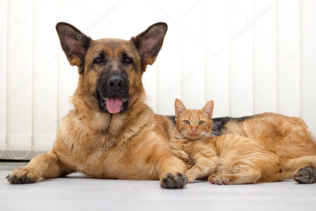 Cane Sdraiato Insieme E Insieme Gatto Gatto E Cane Dallo Shepherd