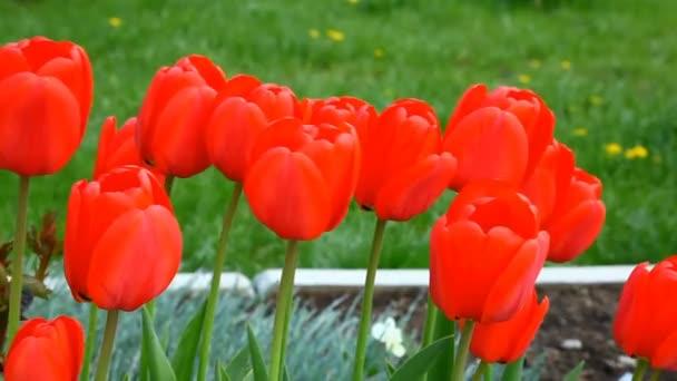 tulipány ve větru