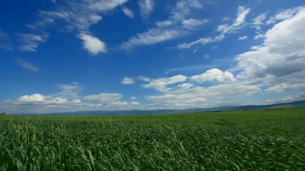 vítr fouká pšenice