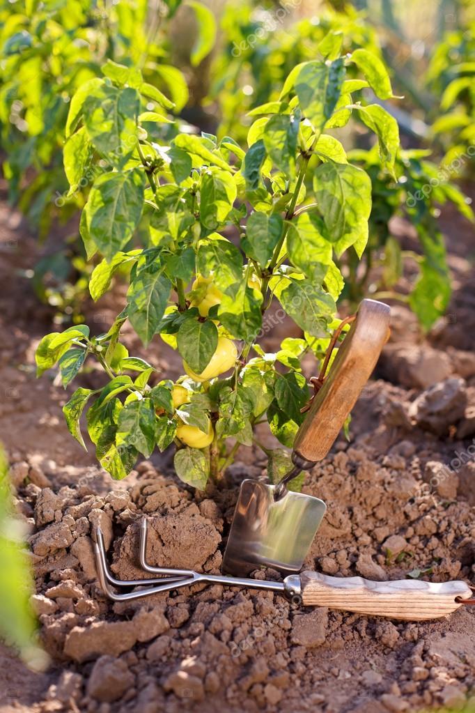 Garden tools near bell pepper plant