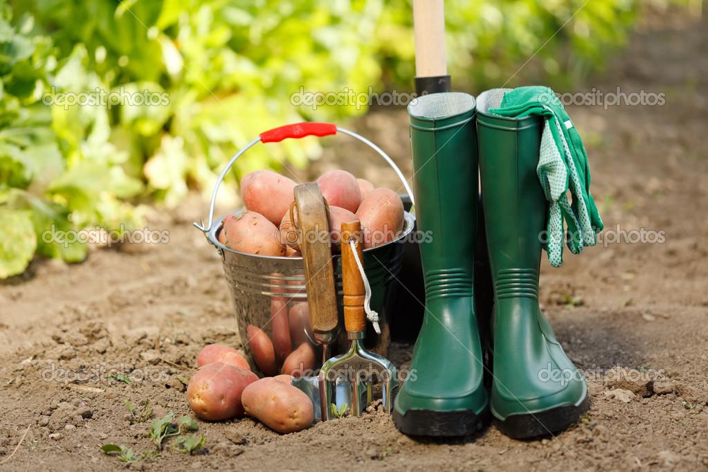 Harvesting equipment and potatoes