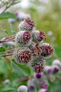thistles growing