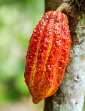 Ripe cacao bean on the wood