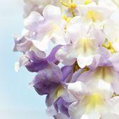 Fotografie Paulownia Flower