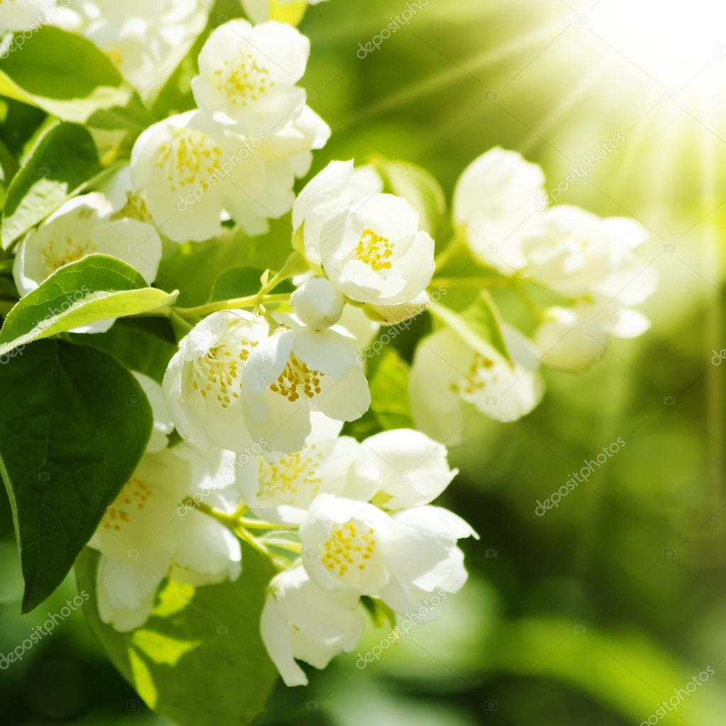 Jasmine Flower Stock Photo Razvodovska 48739627