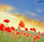 Fotografie Poppies in field