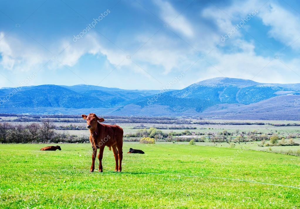 Rural landscape with calf