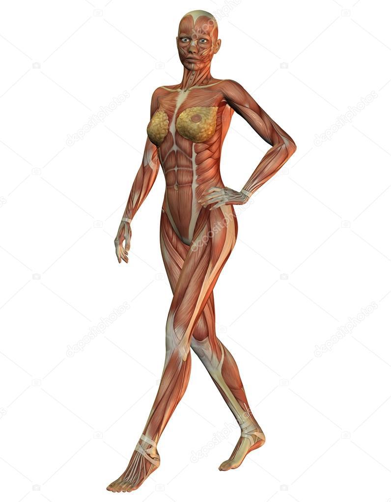 Anatomía y los músculos de la mujer en el funcionamiento — Foto de ...