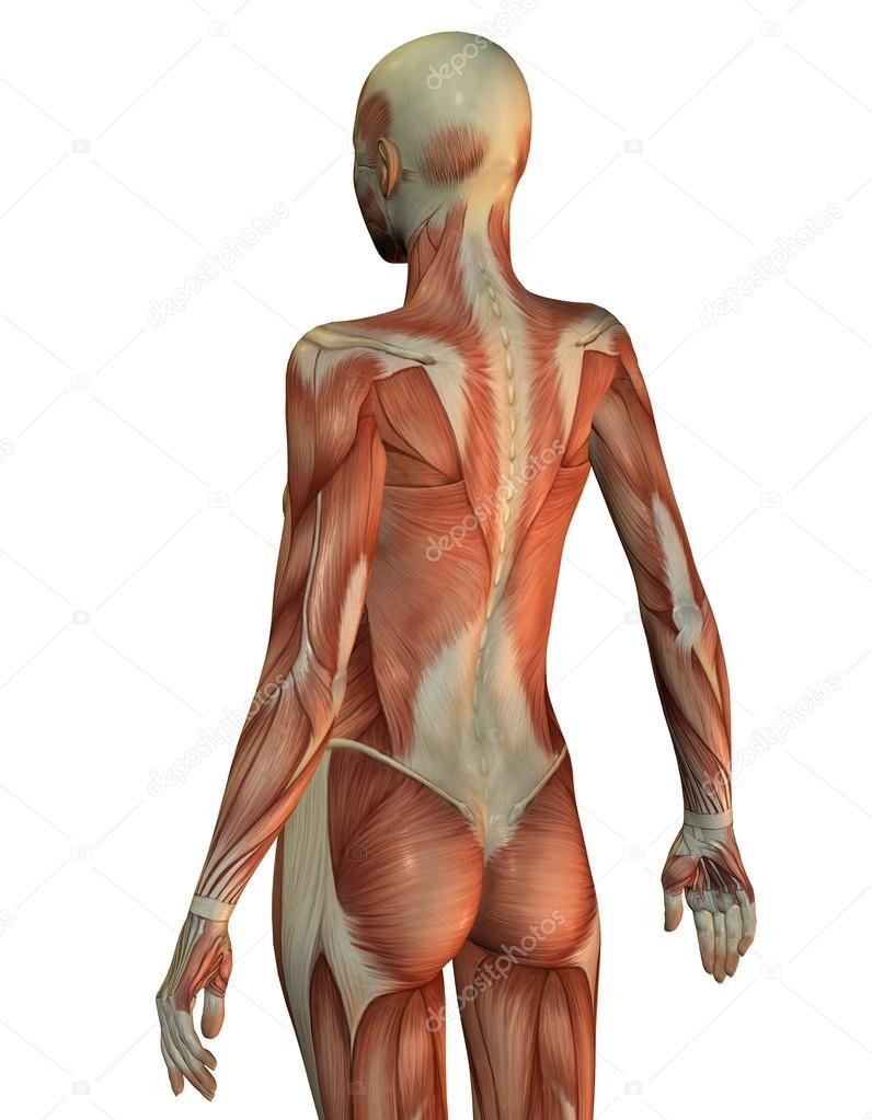 Anatomía mujer parte superior del cuerpo por detrás — Foto de stock ...