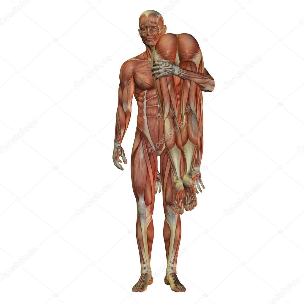 hombre con mujer - músculo humano — Foto de stock © DigitalArtB ...