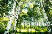lesní bříza