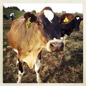 Fotografie krávy