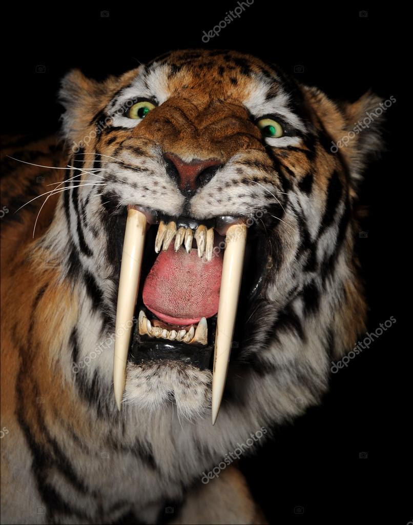 Saber-toothed tiger face