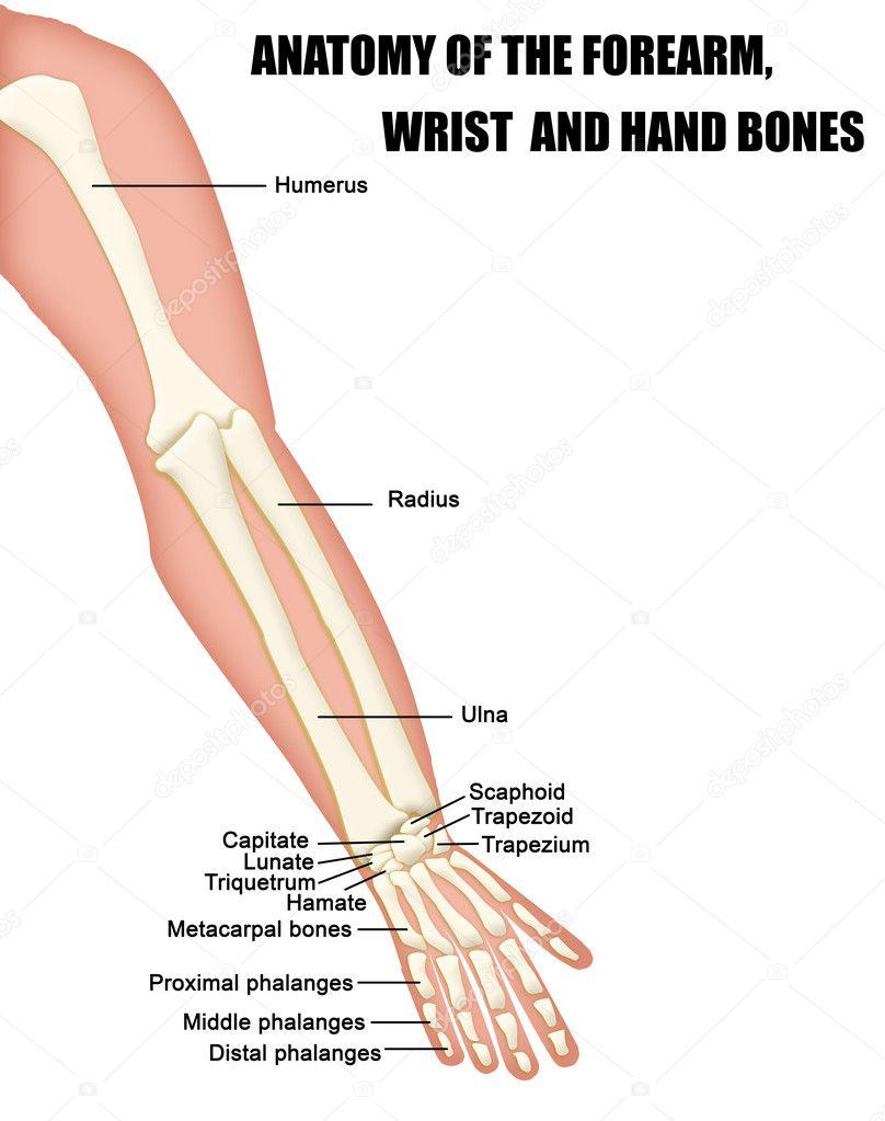 Anatomie van de hand, onderarm en pols beenderen — Stockvector ...