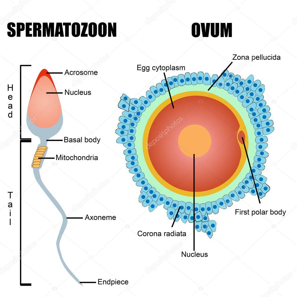 Estructura de gametos humanos: óvulo y espermatozoide — Archivo ...