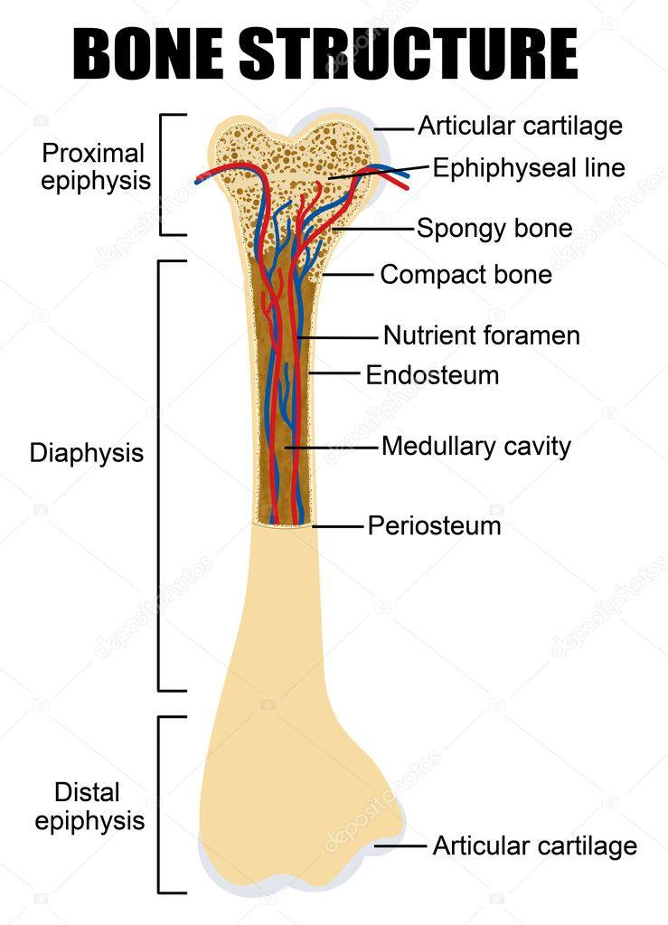 Diagrama de la anatomía del hueso humano — Archivo Imágenes ...