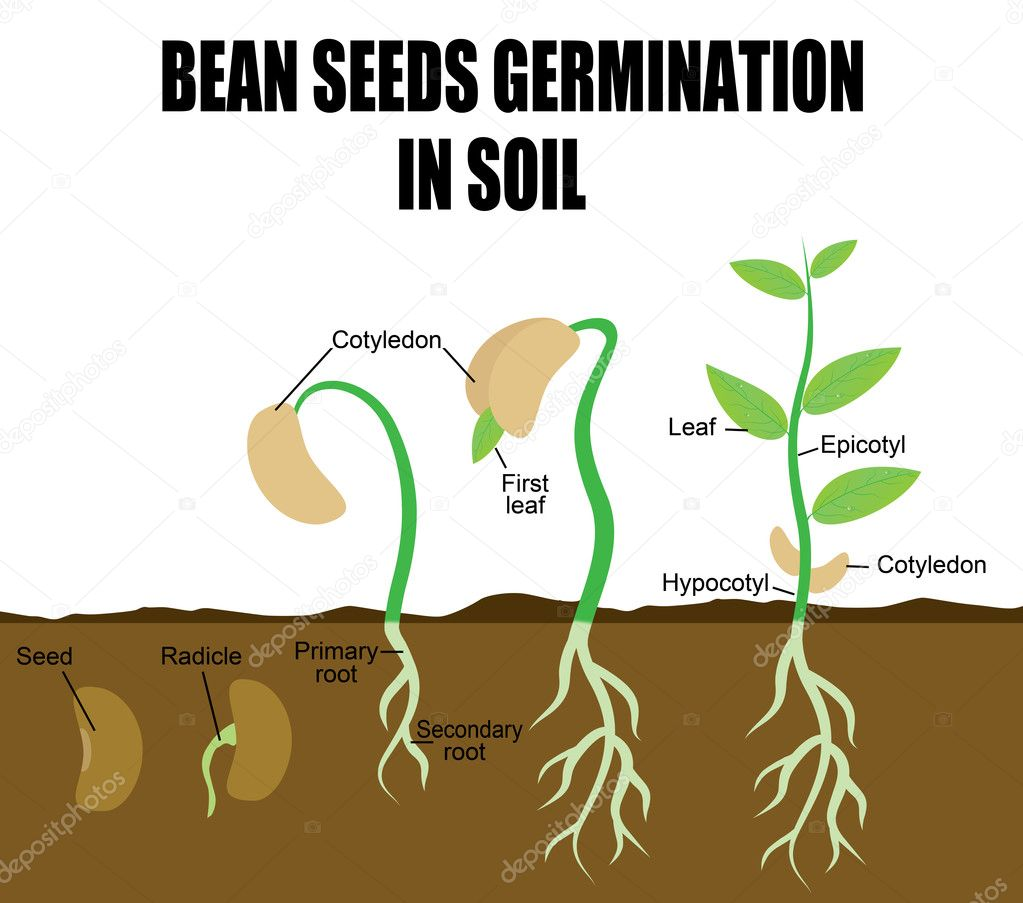 Bean Seed Germination Diagram Download Sequ