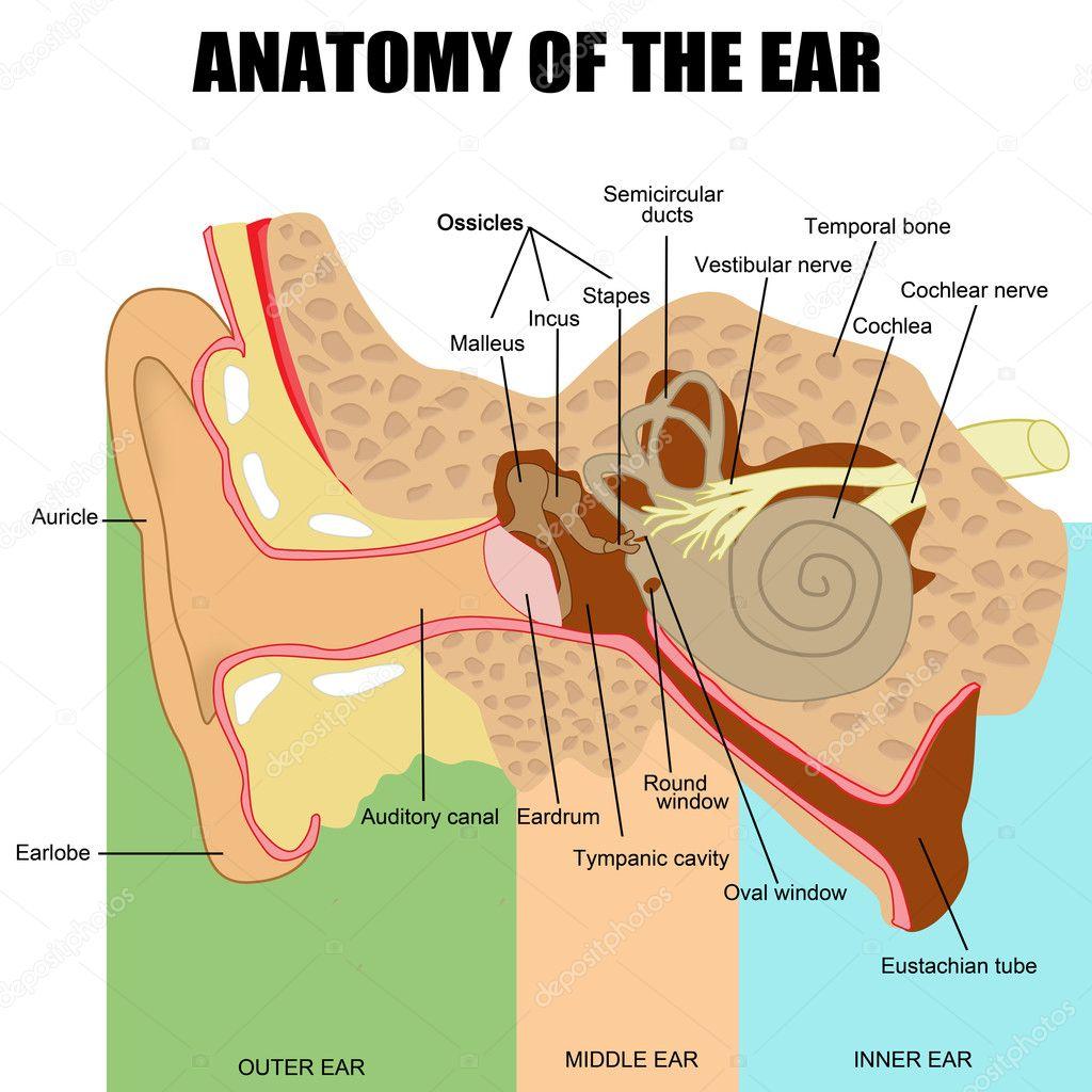 Anatomy of the human ear — Stock Vector © roxanabalint #22061631