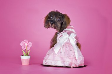 Dog Breed the Petersburg orchid in a wedding dress on a pink bac