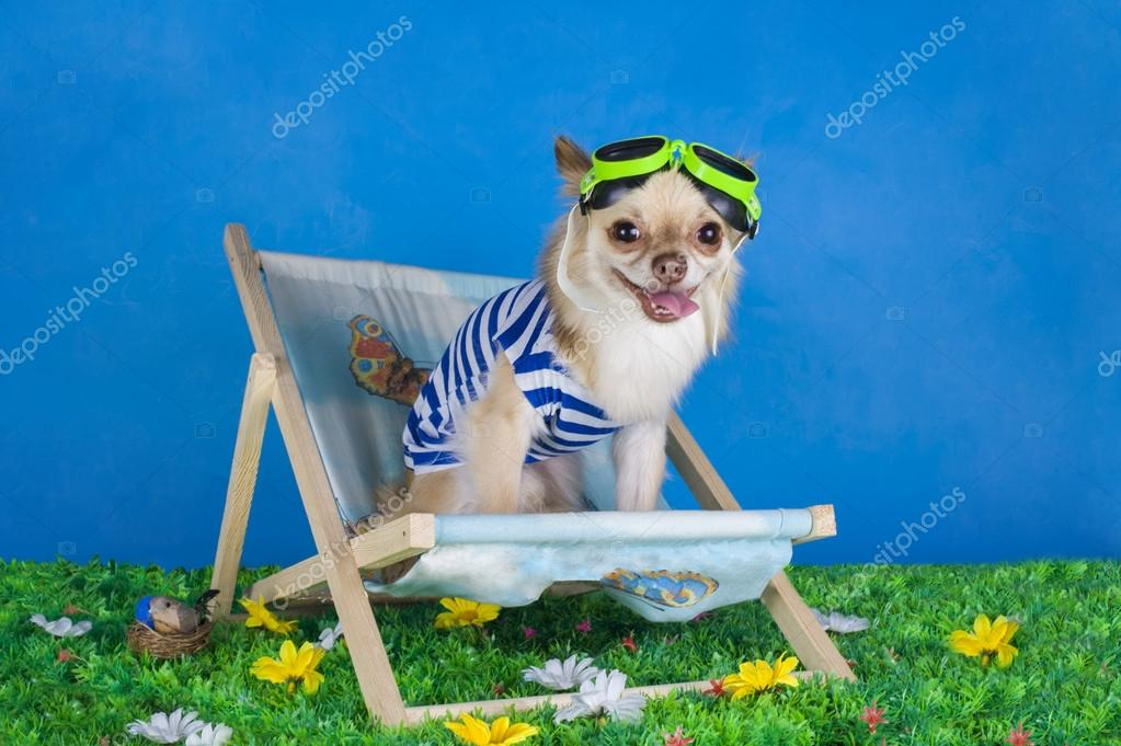 Chihuahua in striped vest on holiday