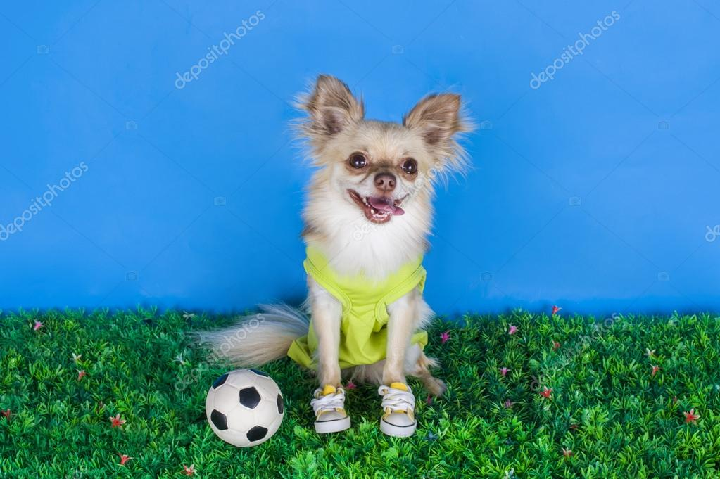 Chihuahua playing football