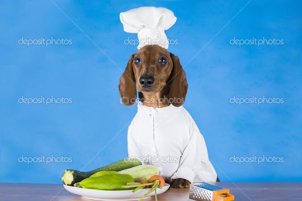 Teckel habill comme un cuisinier sur un fond bleu isol for Cuisinier 94 photos