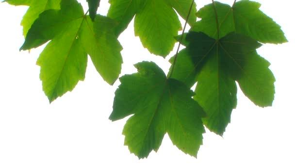 foglia di acero verde. sfondo bianco