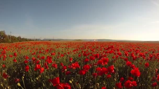kvetoucí pole
