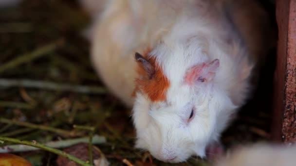 Guinea Pig. Cute white guinea pig that chews. Close-up.